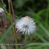 (菊科)昭和草