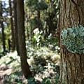 (梅衣科)-地衣體-葉狀地衣(lichen)是真菌和光合生物(綠藻或藍细菌)
