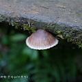 (口蘑科)紅紫柄小菇