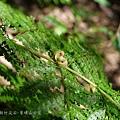 (碗蕨科)稀子蕨