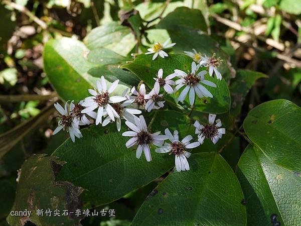 (菊科)台灣紫菀又名台灣馬蘭(此葉子是另一種植物)