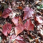 (槭樹科)台灣紅榨槭