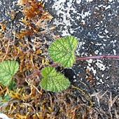 (薔薇科)刺萼寒莓