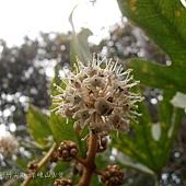(五加科)通脫木的花朵