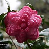 (山茶科)六角大紅茶花