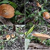(多孔菌科)黃柄小孔菌