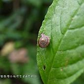 (扁蝸牛科)葛蘭氏盾蝸牛