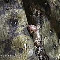 (側耳科)香菇