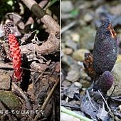 (蛇菰科)穗花蛇菰,左邊是雄花,右邊是雌花