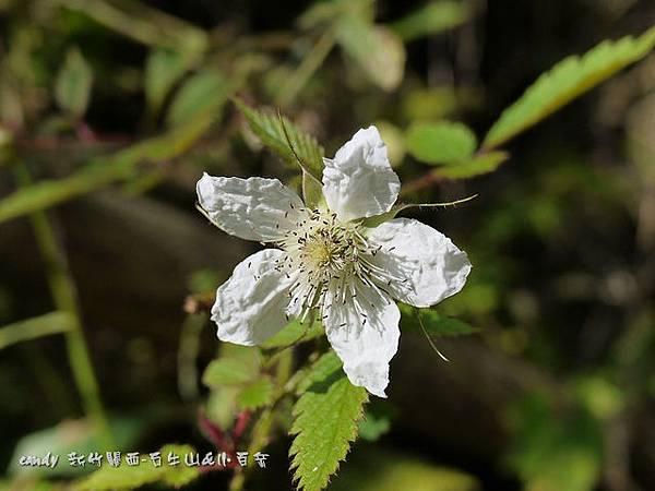(薔薇科)刺莓
