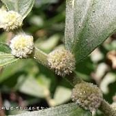 (蕁麻科)闊葉樓梯草的花.jpg