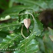 (斑蛾科)黃紋紅頸斑蛾.jpg