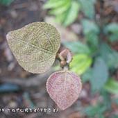 (大戟科)野桐嫩葉