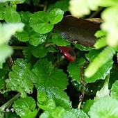 (椿象科)短光紅椿象--短光紅椿 ,胸部腹面具黑、白色條紋,各腳基部及脛節以下黑色。