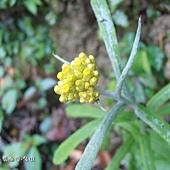 (菊科)鼠麴草花