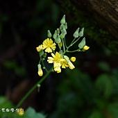 (菊科)黃鵪菜