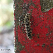 (燈蛾科)翅鹿子蛾的幼蟲