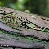 (蟻科/棘山蟻屬)黑棘蟻