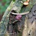 (絲膜菌科)綠褐裸傘