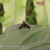 (鷸虻科)黑翅鷸虻