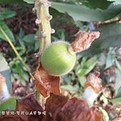 (薑科)烏來月桃果實