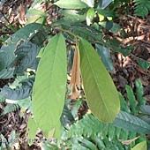 (番荔枝科)瓜馥木的葉子是互生