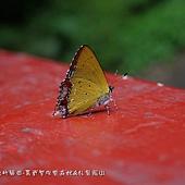 (小灰蝶科)紅邊黃小灰蝶