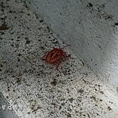 (碩椿象科)巨椿象若蟲