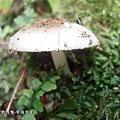 (環柄菇科)珠雞斑白鬼傘