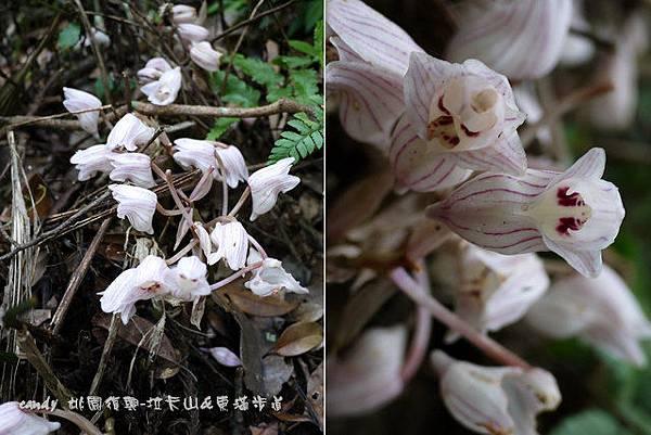 (蘭科)一葉罈花蘭