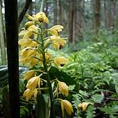 (蘭科)黃花鶴頂蘭