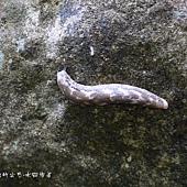 (黏液蛞蝓科)蝸蝓