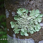 (地衣體)葉狀地衣(lichen)是真菌和光合生物(綠藻或藍细菌)