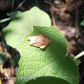 (捲蛾科)褐黃色捲葉蛾