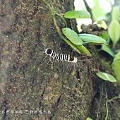 (毒蛾科)頂斑黃毒蛾,幼蟲,體背黑色,有白色的橫紋。