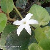 (茜草科)苞花蔓