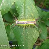 (刺娥科)三色刺蛾的幼蟲