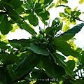 (使君子科)大葉欖仁樹的果實