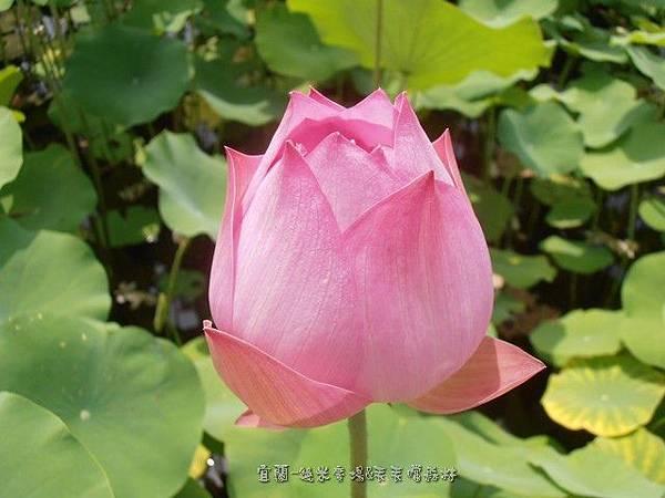 (蓮科)蓮花又稱荷花,荷是花、葉的總稱,蓮則是果實,也就是蓮子。