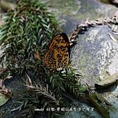 (蛺蝶科)姬黃三線蝶
