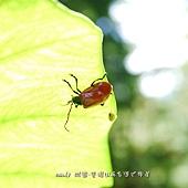 (金花蟲科)大紅金花蟲
