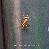 (蛛蜂科)蛛蜂