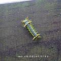 (刺蛾科)刺娥的幼蟲