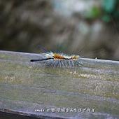 (毒蛾科)毒蛾的幼蟲