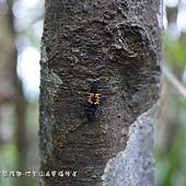 (瓢蟲科)小十三星瓢蟲