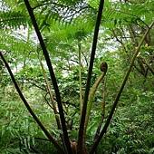 (桫欏科)筆筒樹