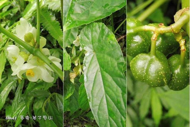 31-(秋海棠科)圓果秋海棠