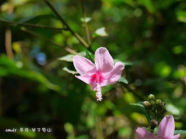 (錦葵科)野棉花.jpg