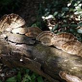 (多孔菌科)薄邊蜂窩菌