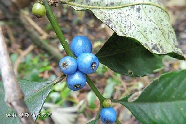 (茜草科)雞屎樹的果實